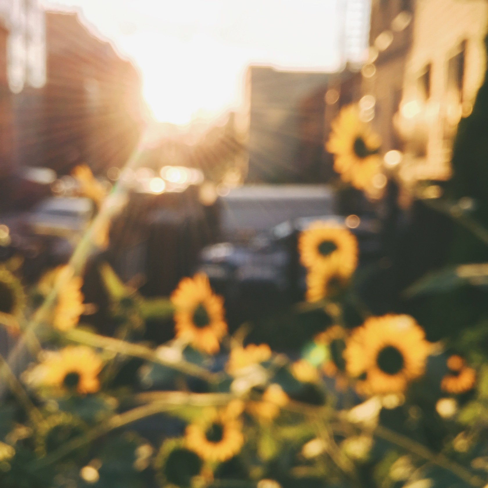 The Core Stories | On the beauty of summer sunflowers.