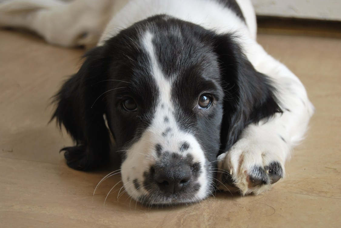 Millie Growing Up with Spaniels | The Cornish Dog