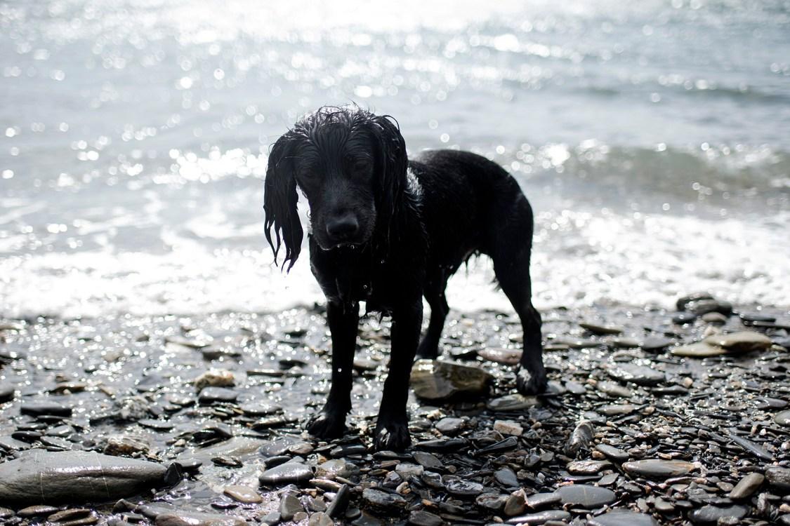 Working Cocker Spaniel   The Cornish Dog
