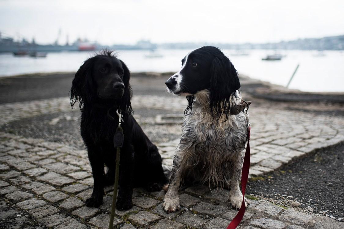 Trefusis Point   The Cornish Dog