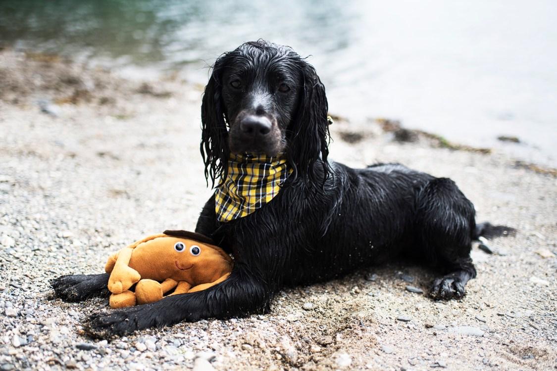 Cornish Dog Bandanas   The Cornish Dog