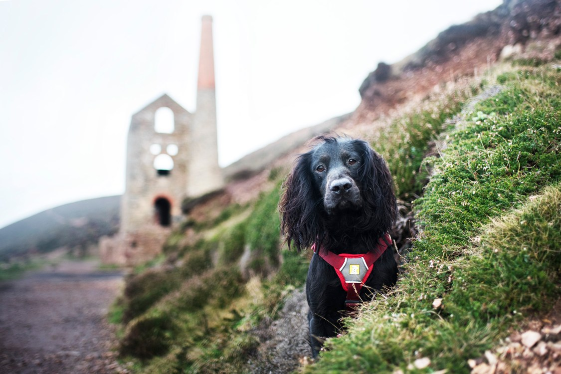 Wheal Coates   The Cornish Dog