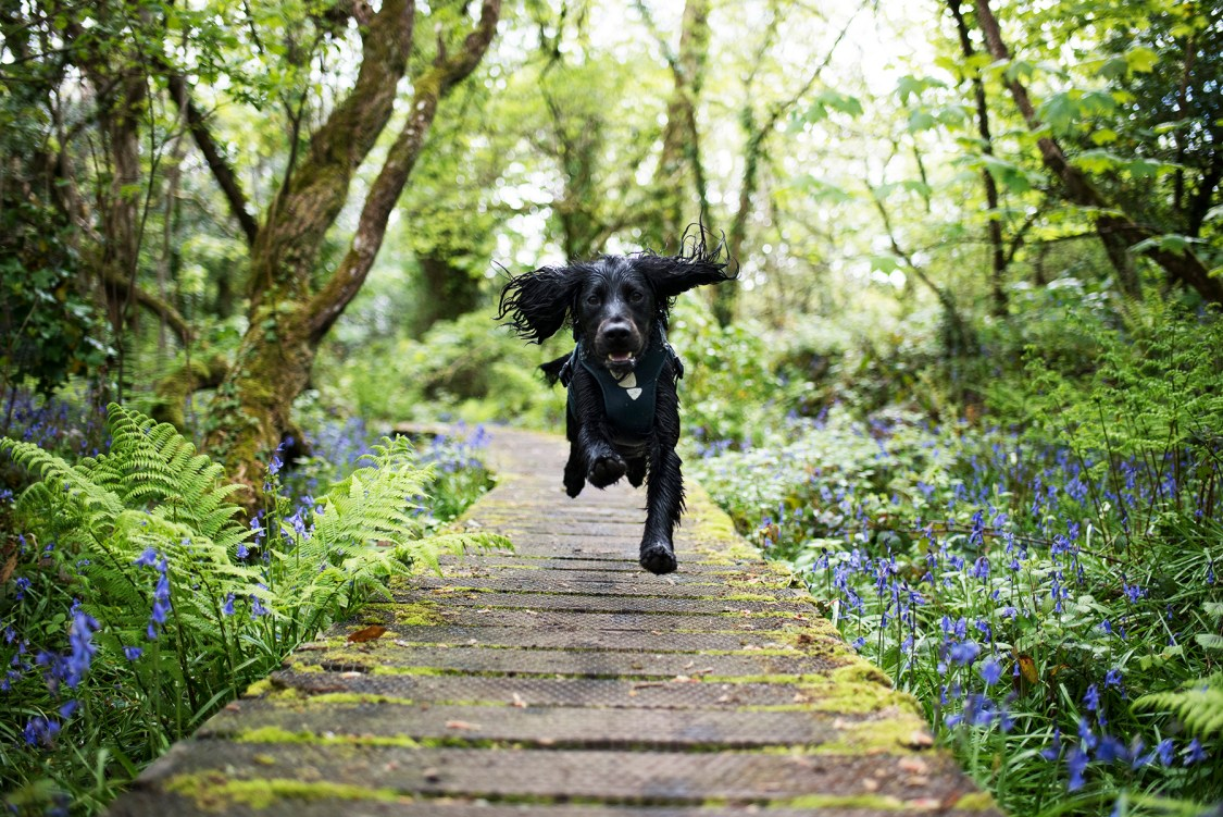 Working Cocker Spaniel Running Through Bluebells | The Cornish Dog