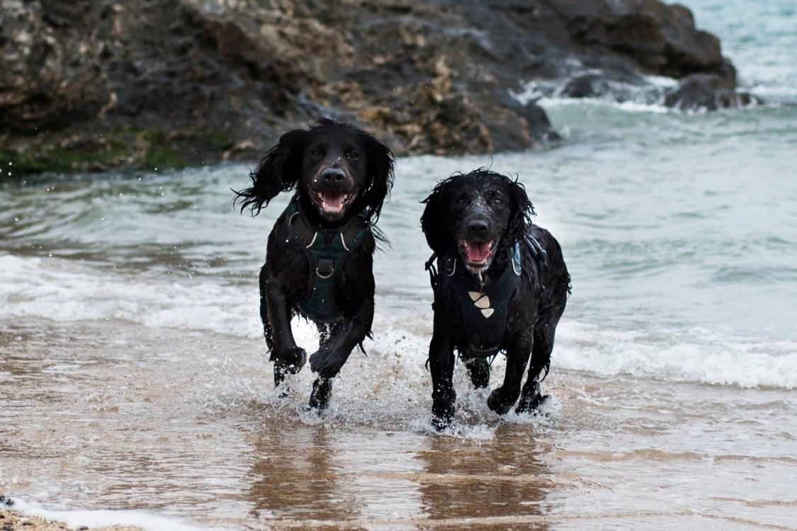 Woody and Snoop Enjoying Polly Joke Beach | The Cornish Dog