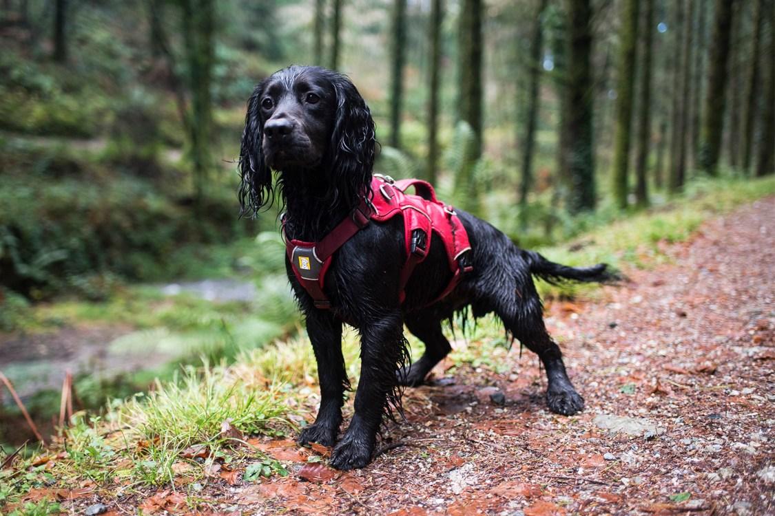 Ruffwear Webmaster Harness   The Cornish Dog