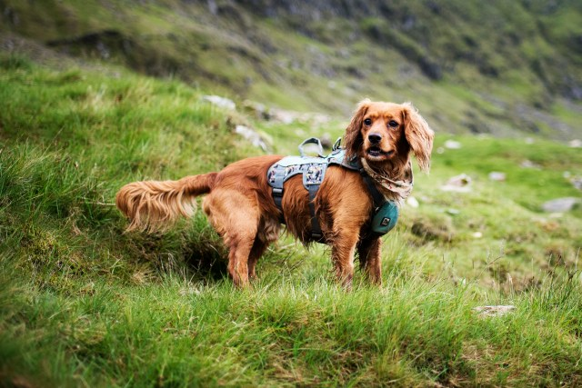 Hen is Coast Path Ready | The Cornish Dog
