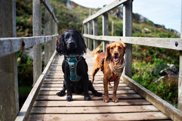 Woody and Hen Starting at Zennor | The Cornish Dog