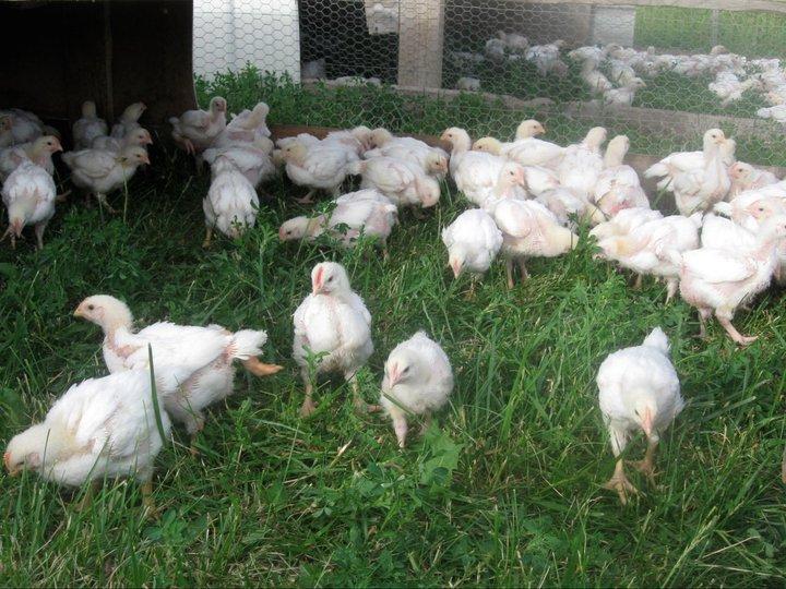 Pastured Chickens