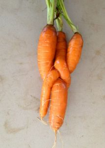 Carrots knotted together