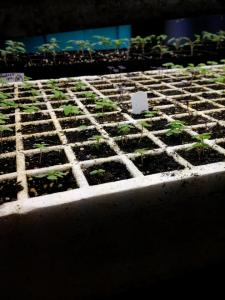 Tray of seedlings up close