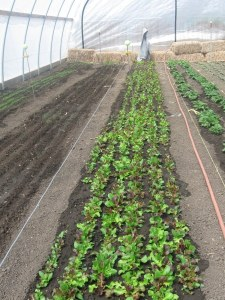 Early growth and irrigation in hoop house