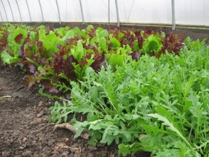 Greens in the hoop house