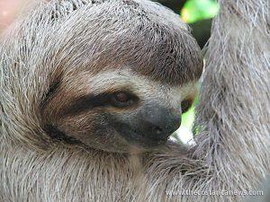 manuel antonio sloth
