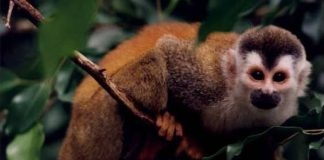 Grey Crowned Red-backed Squirrel Monkey (Mono Titi)