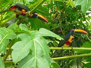 colorful birds in the rainforests of the osa peninsula, costa rica
