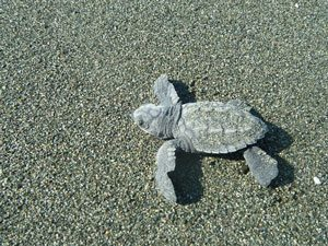 baby sea turtle hatchling on the beach