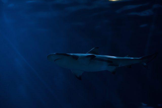 Scalloped hammerhead sharks
