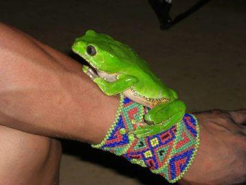 Kambo poison frog