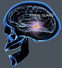 pineal gland brain