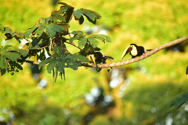 Toucans are seen everywhere