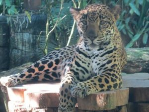 Jaguar La Paz Waterfalls Majestic Big Cat