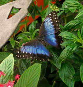 Butterfly Blue Exhibition beautiful nature Costa Rica La Paz