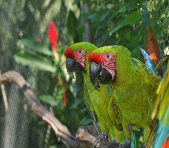 costa rica macaws