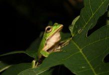 costa rica frog medicine