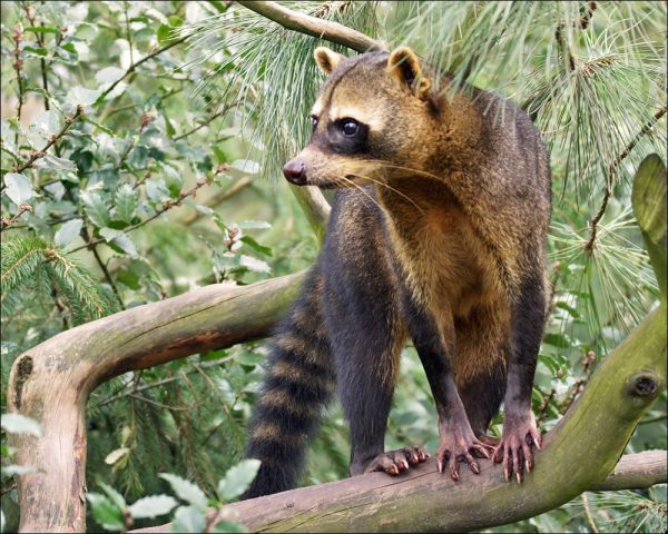 It is a small mammal species very common all over Costa Rica´s natural environments.