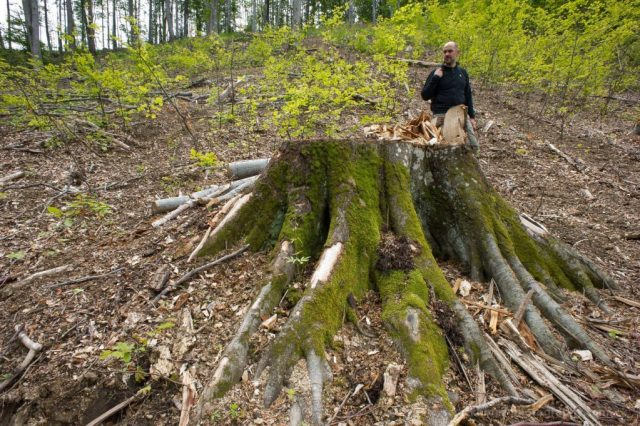 A big tree cut down