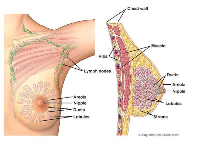 Breast parts diagram