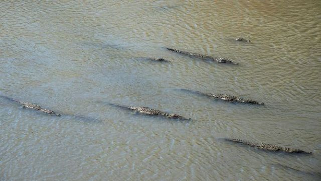 Crocodiles moving in the Tárcoles River