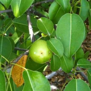 Hippomane Mancinella leaves
