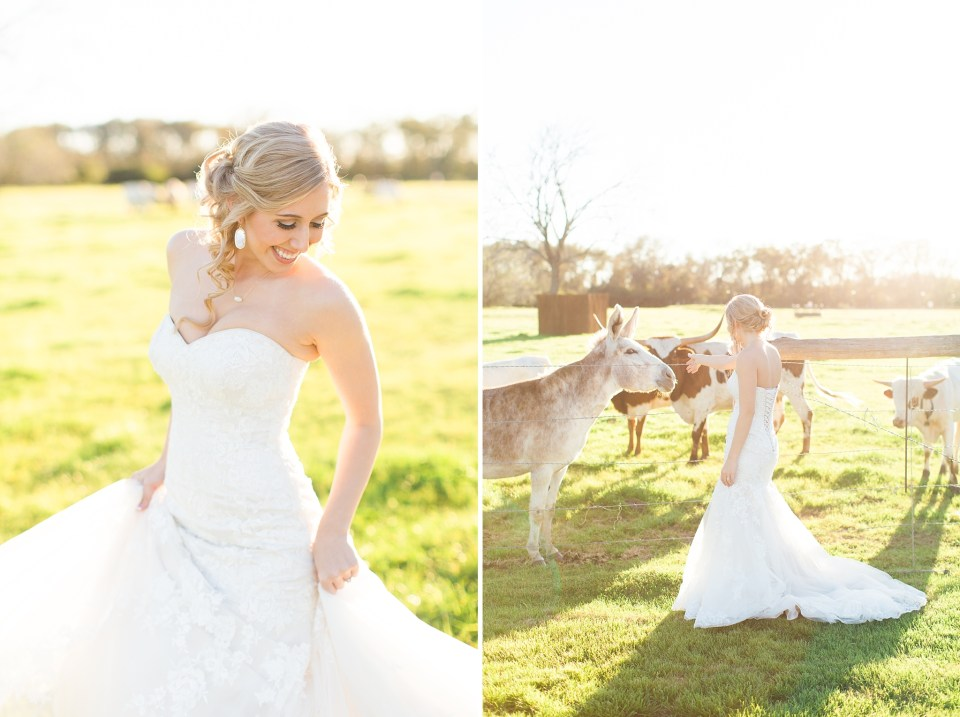 bride twirling in field with cows