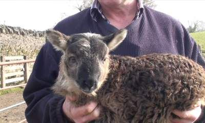 geep ewe A Goat Had Sex With A Sheep, And This Came Out