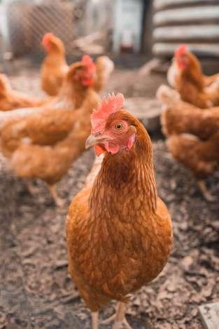 chicken start laying eggs