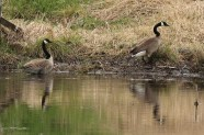 Canadian Geese 2