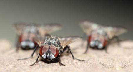 Gang of Houseflies
