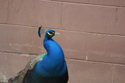 Handsome Peacock
