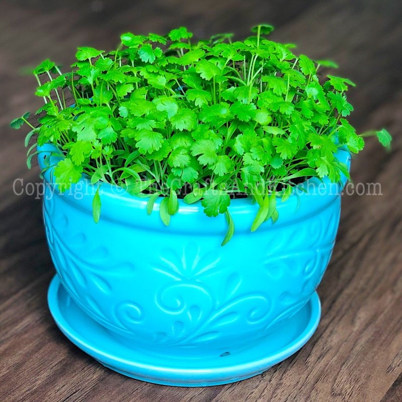 Coriander leaves