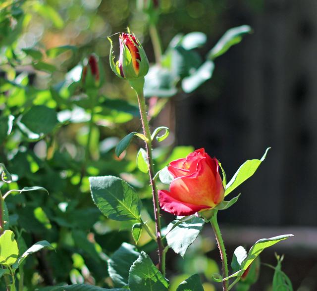 roses 2