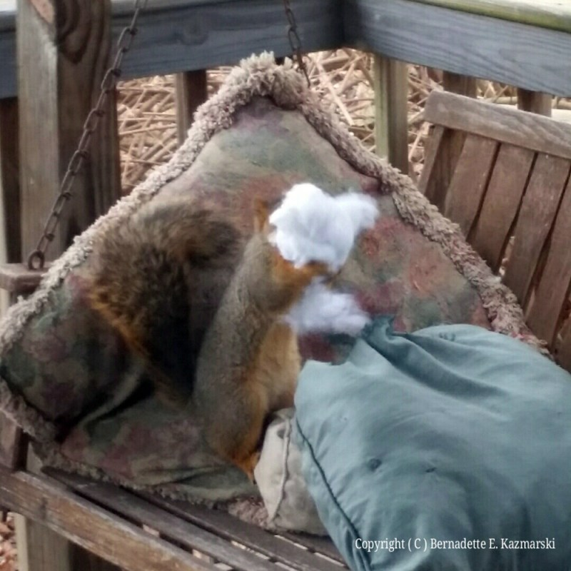 Squirrel guts the pillow.
