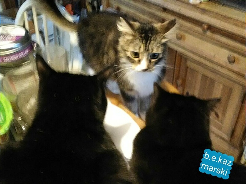 meeting of three cats