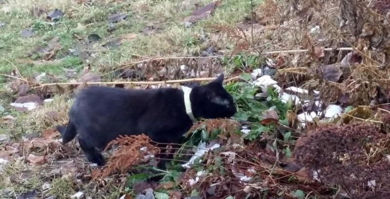 black cat sniffing