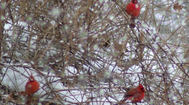 Three cardinals in a snowy forsythia.