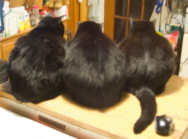 photo of three black cats from behind