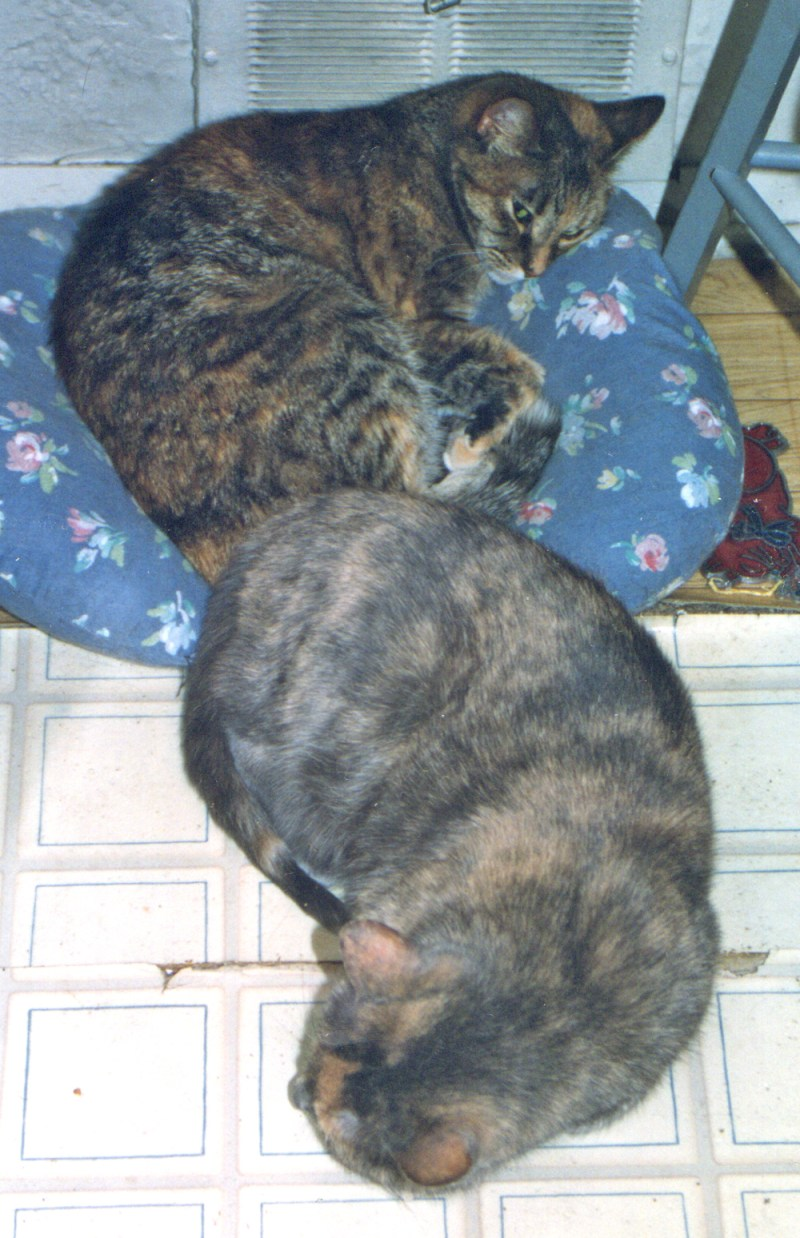 torbie and dilute tortoiseshell cats