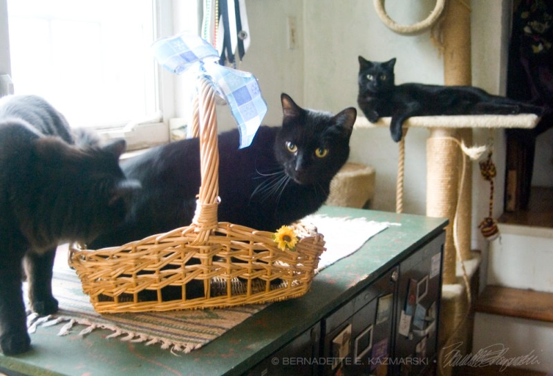 three black cats with basket