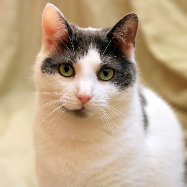 gray and white cat for adoption