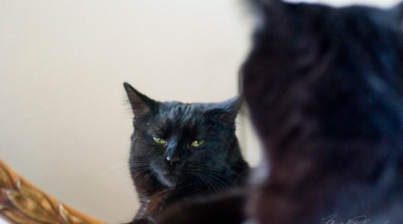 black cat looking in mirror
